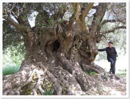 olijfboom_an