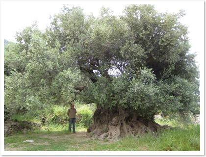 olijfboom_dee