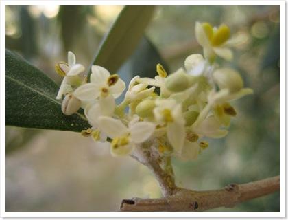 olijfboom bloesem